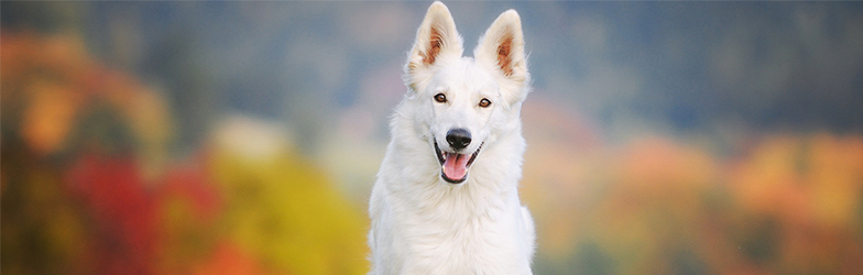 White Dog, Veterinary Chiropractor Northern Ireland